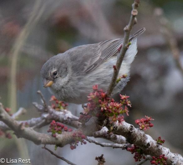 small-tree-finch-07-14-16-5630