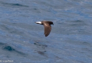 wedge-rumped-storm-petrel-07-14-2016-5808