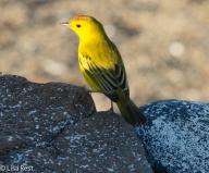 yellow-warbler-07-14-2016-5457