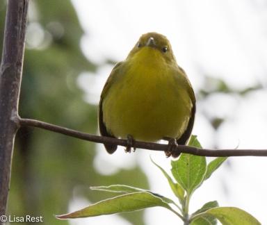 yellow-warbler-07-14-2016-5503
