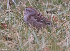 amer-tree-sparrow-mcginnis-1-22-17-6411