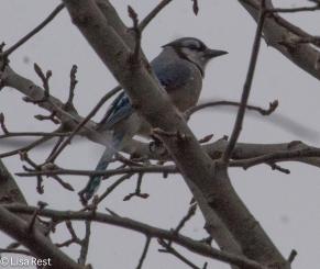 blue-jay-yard-1-29-17-7005