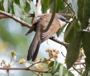 dark-billed-cuckoo-07-15-2016-6624