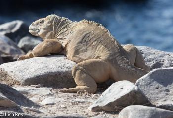galapagos-land-iguana-07-15-2016-6987