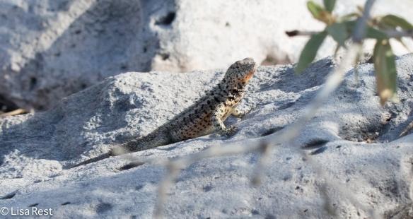 galapagos-lizard-07-15-2016-7013
