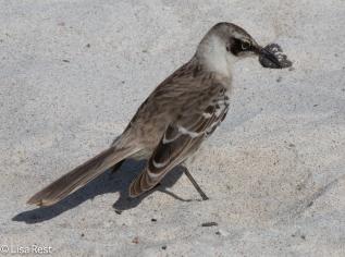 galapagos-mockingbird-07-15-2016-6902