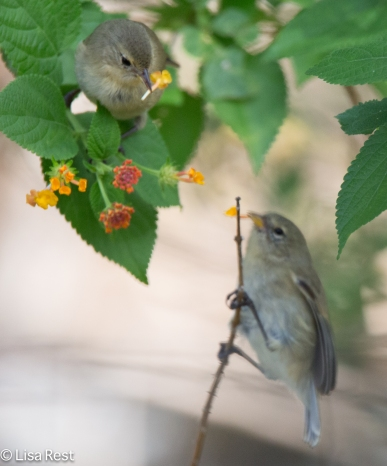 gray-warbler-finches-07-15-2016-6669