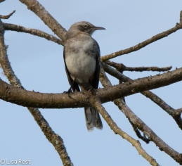 san-cristobal-mockingbird-07-15-2016-6430