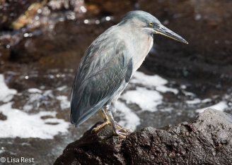 striated-heron-07-15-2016-6792