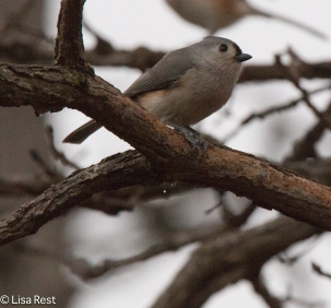 tufted-titmouse-little-red-schoolhouse-1-22-17-6478