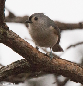 tufted-titmouse-little-red-schoolhouse-1-22-17-6484