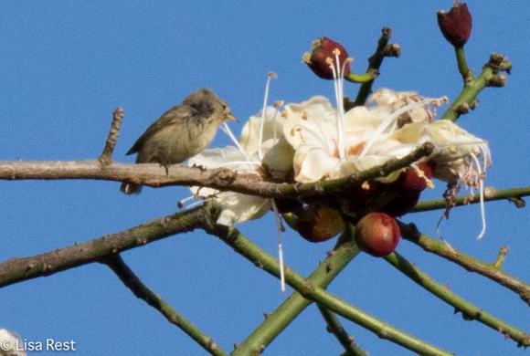 woodpecker-finch-07-15-16-6337