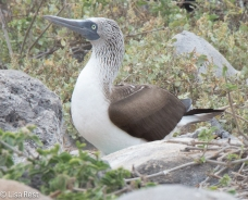 blue-footed-booby-07-16-2016-7355