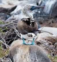 blue-footed-booby-07-16-2016-7356