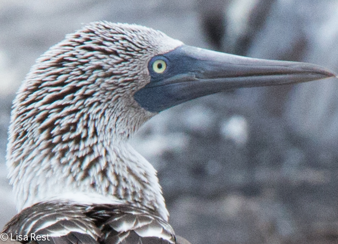 blue-footed-booby-07-16-2016-7358
