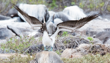 blue-footed-booby-07-16-2016-7427