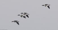 common-mergs-gull-frolic-2-11-17-8188
