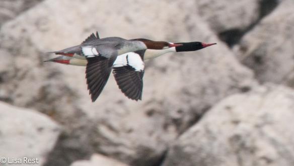 common-mergs-gull-frolic-2-11-17-8462