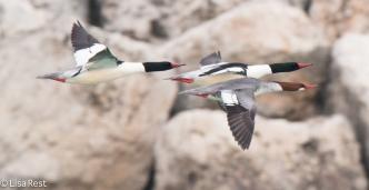 common-mergs-gull-frolic-2-11-17-8464