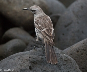 espanola-mockingbird-07-16-2016-7140
