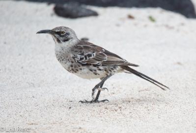 espanola-mockingbird-07-16-2016-7222