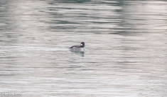 female-bufflehead-gull-frolic-2-11-17-8149