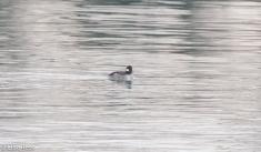 female-bufflehead-gull-frolic-2-11-17-8149