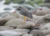 galapagos-yellow-crowned-night-heron-07-16-2016-7235
