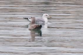 hegu-gull-frolic-2-11-17-8399