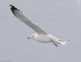 hegu-gull-frolic-2-11-17-8582