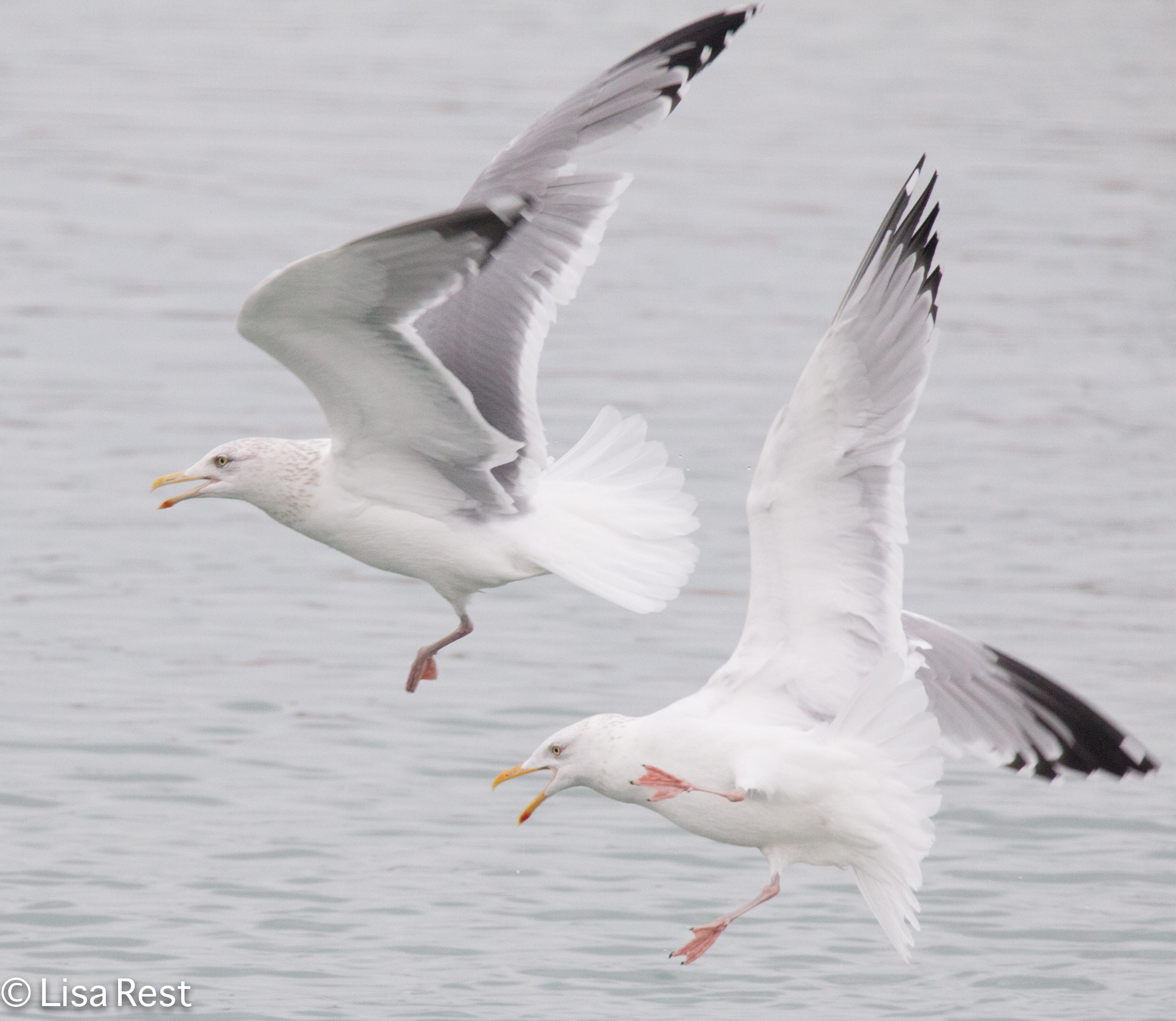 hegu-gull-frolic-2-11-17-8634
