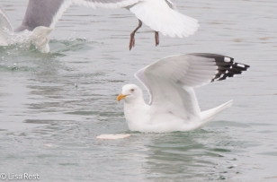 hegu-gull-frolic-2-11-17-8649