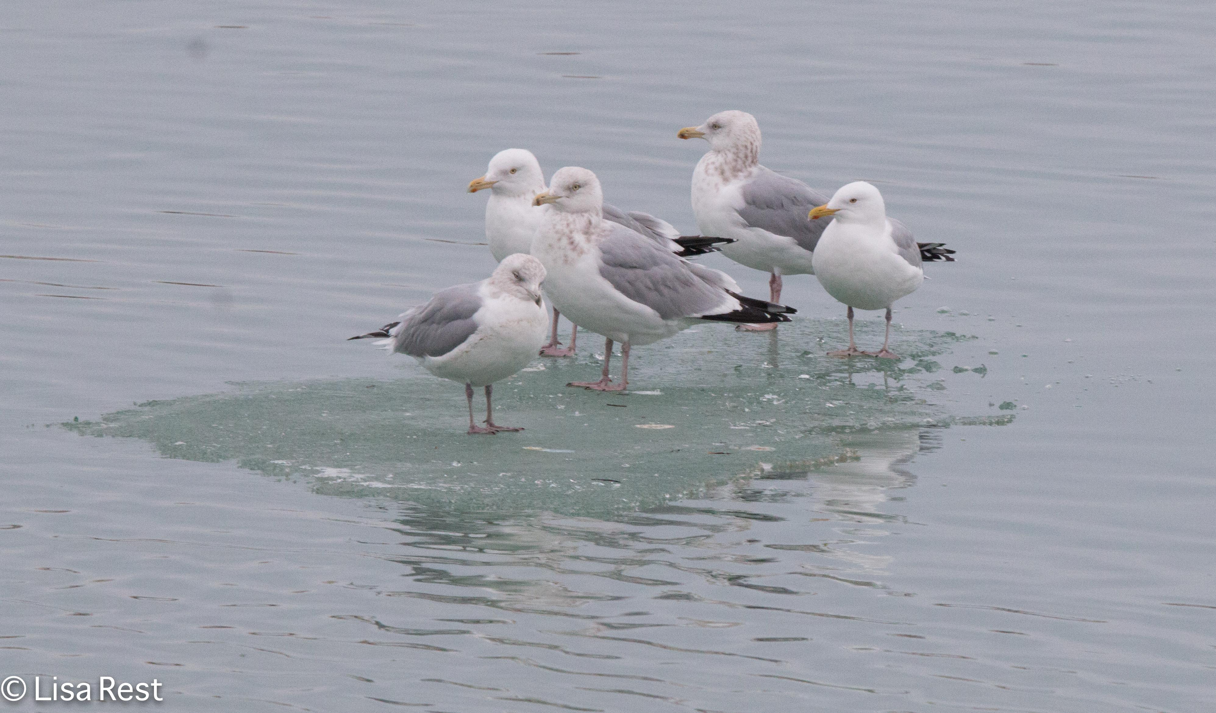 hegu-gull-frolic-2-11-17-8684