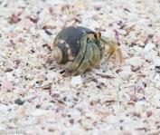 hermit-crab-07-16-2016-7197