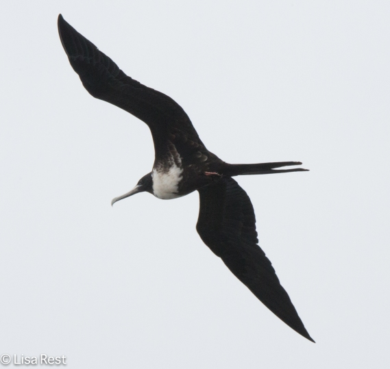 magnificent-frigatebird-07-16-2016-7939