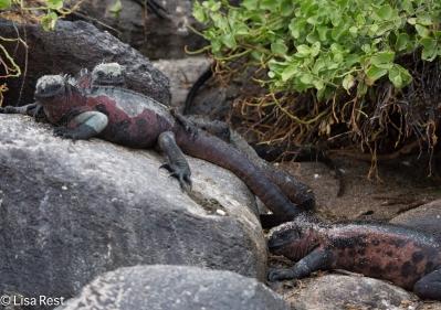 marine-iguanas-07-16-2016-7162