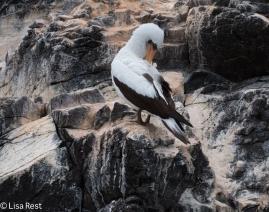 nazca-booby-07-16-2016-9300