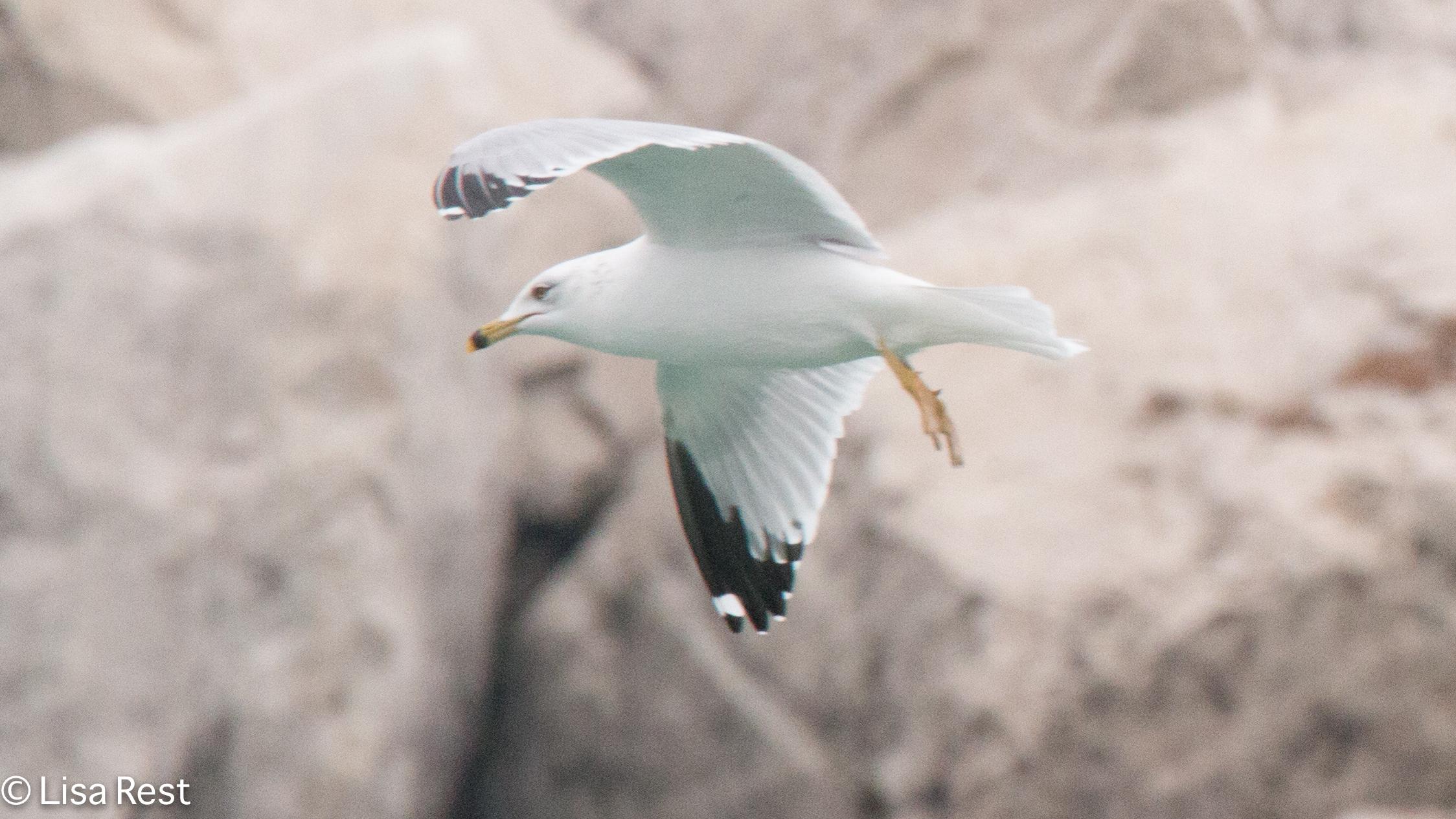 rbgu-gull-frolic-2-11-17-8396