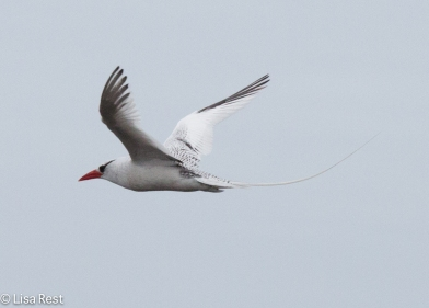 red-billed-tropicbird-07-16-2016-7565