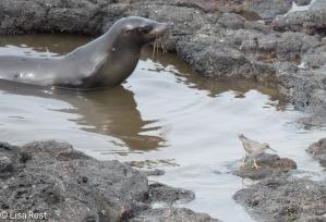 sea-lion-and-wandering-tattler-07-16-2016-7673