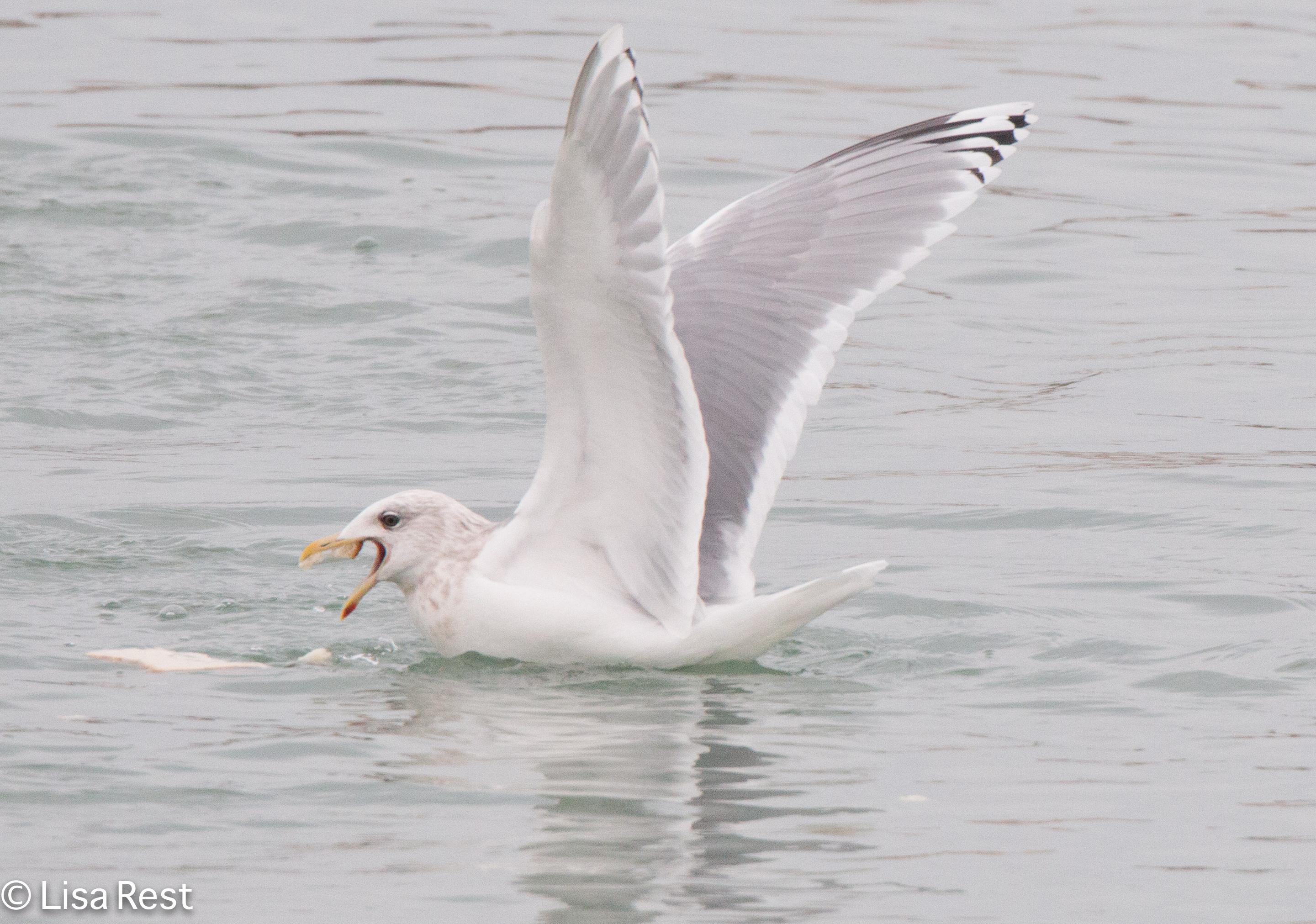 thgu-gull-frolic-2-11-17-8653