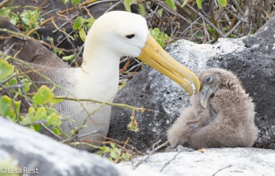 waved-albatross-chick-07-16-2016-7481