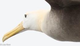 waved-albatross-closeup-07-16-2016-7692