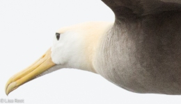 waved-albatross-closeup-07-16-2016-7692