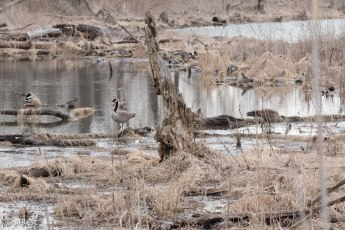 geese-and-mallards-3-5-17-0594