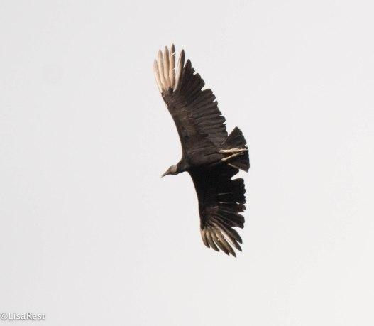 Black Vulture 3-13-17-2053