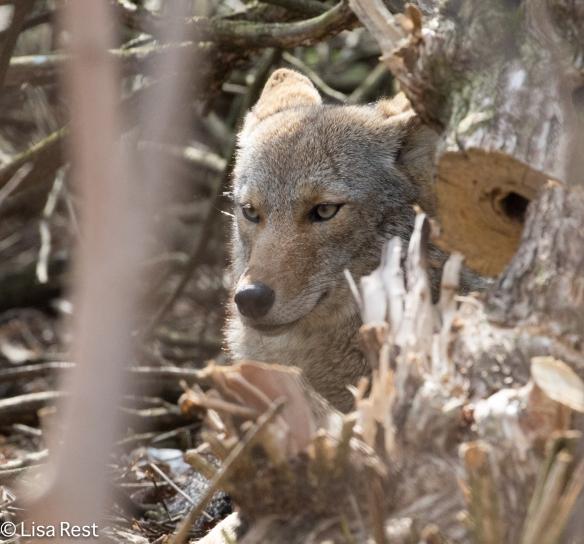 Coyote 4-9-17-0568