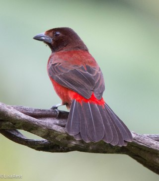 Female Crimson-Backed Tanager