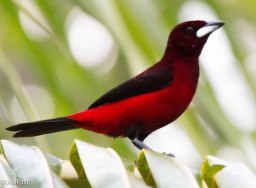 Male Crimson-Backed Tanager