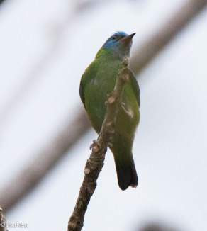 Blue Dacnis Female